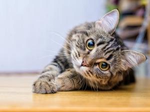parvovirosi gatto