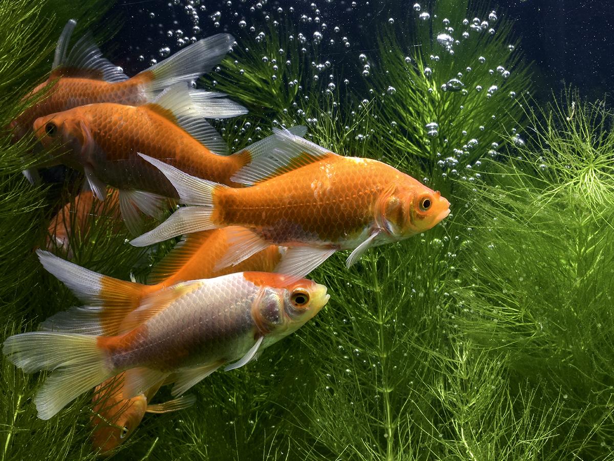 pesce rosso macchie nere