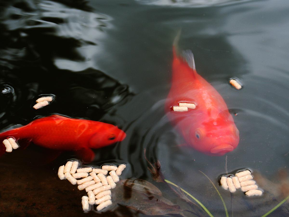 alimentazione pesce rosso