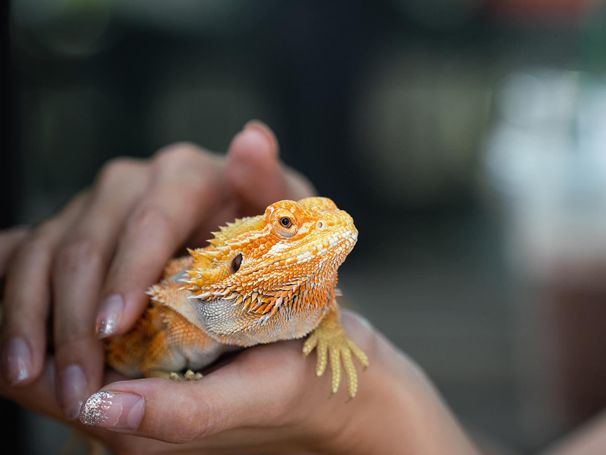 alimentazione iguana