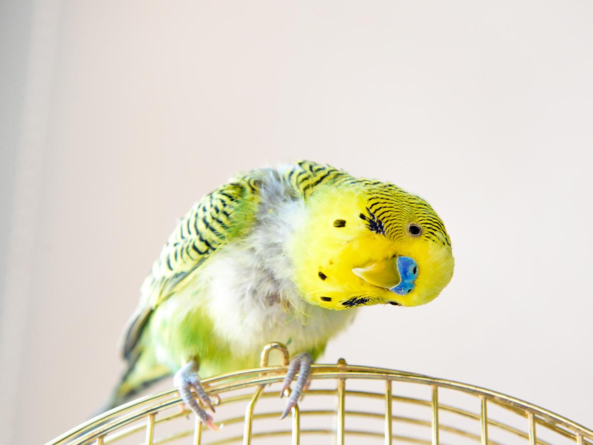 pappagallo perde piume