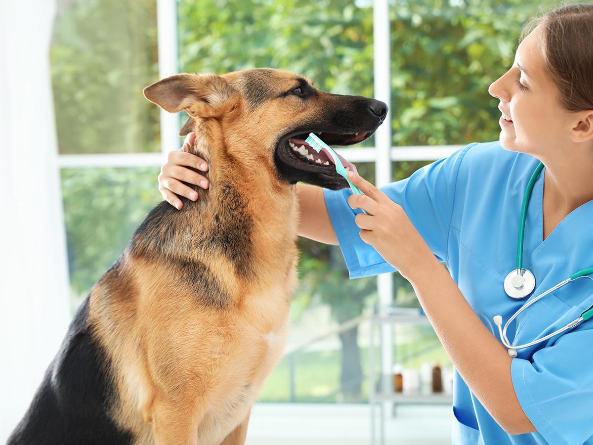 pulire denti cane