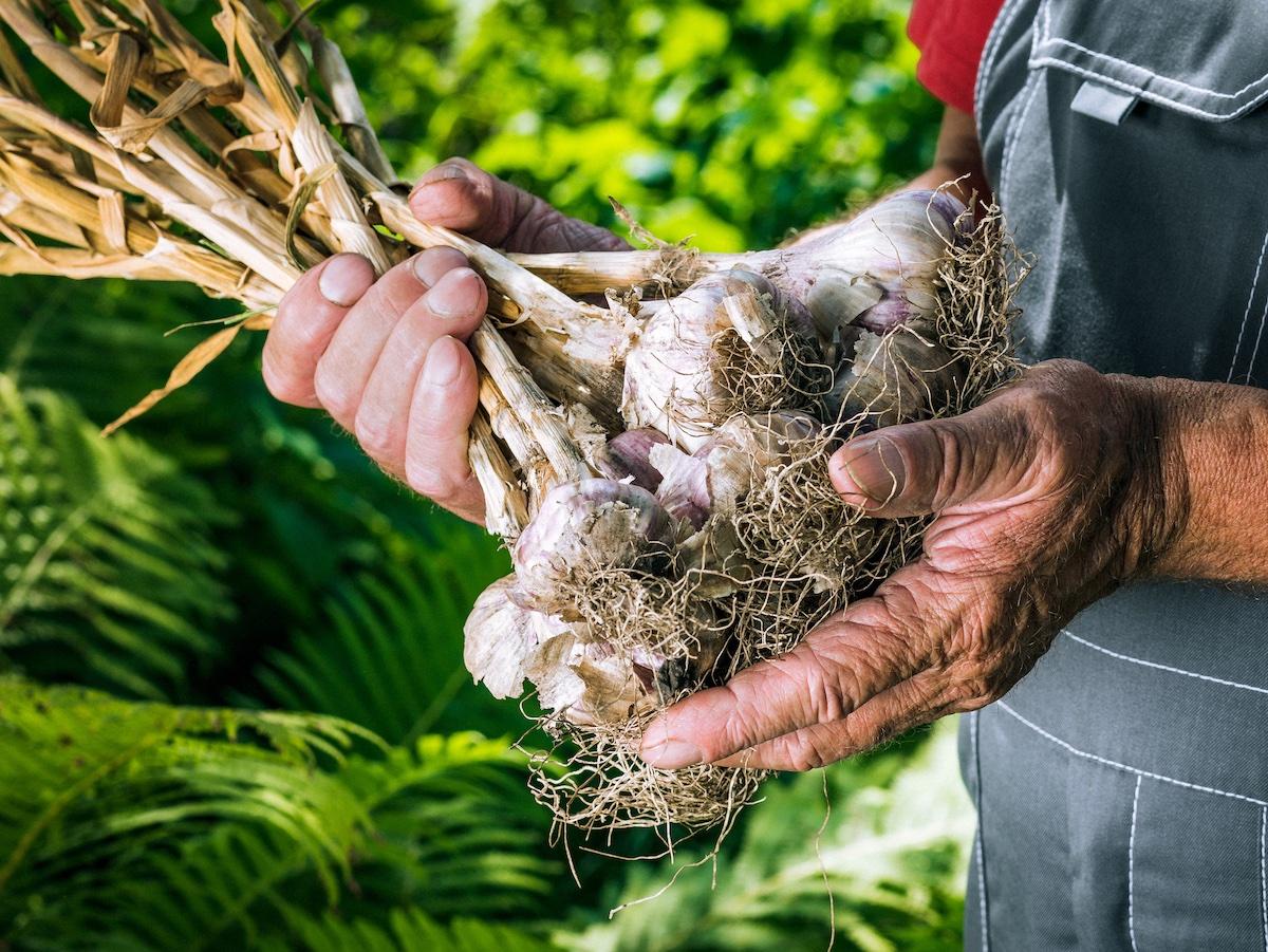 contadino-raccoglie-aglio-orto