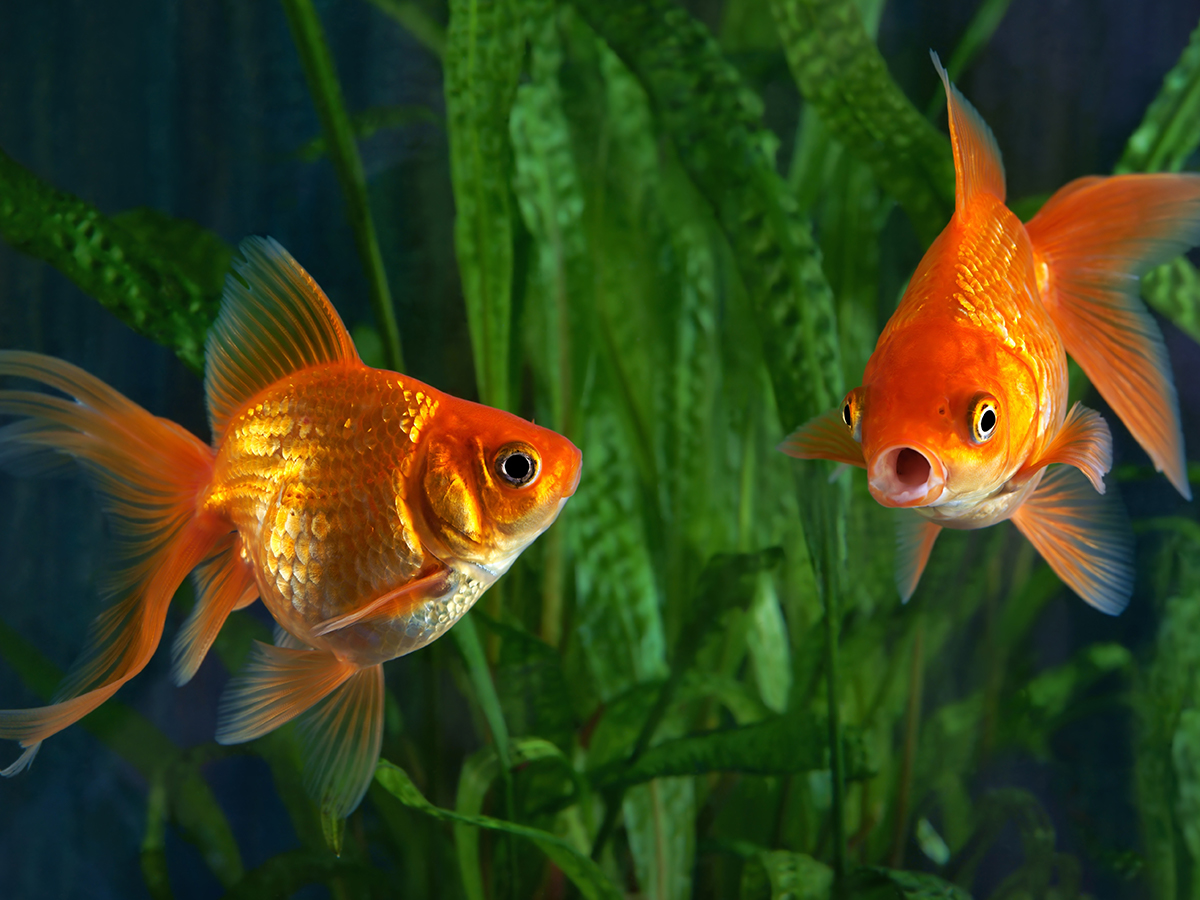 curare pesce rosso