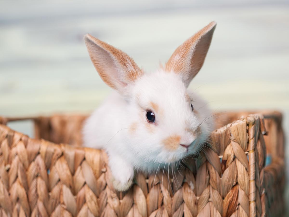 comportamento coniglio nano