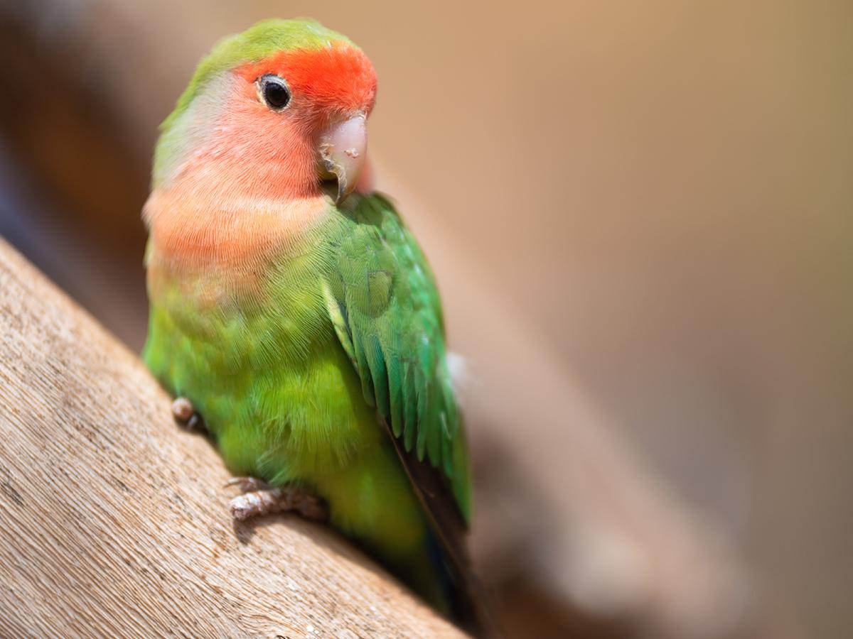 pappagallo malato