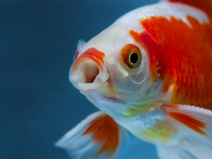 pesce rosso macchie bianche